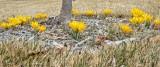 Greening up crocuses.jpg
