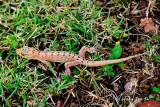 (Gekko monarchus) Spotted House Gecko