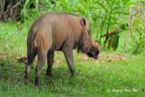 (Sus barbatus) Bearded Pig