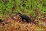 (Aonyx cinerea) Oriental Small-clawed Otter