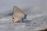 (Anthene emolus)  Ciliate Blue