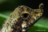 (Aphaniotis ornata) Ornate Shrub Lizard
