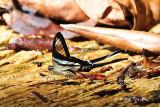 PAPILIONIDAE - Swallowtails