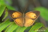 (Mycalesis anapita) Tawny Bush-Brown