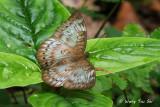 (Euthalia merta apicalis)