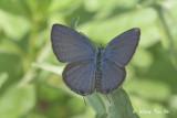 (Chilades pandava) The Cycad Blue