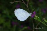 PIERIDAE - Whites and Sulphurs