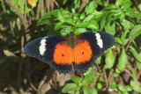 NYMPHALIDAE - Brush-footed Butterflies