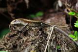 (Mabuya multifasciata) Common Sun Skink