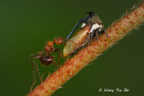 Planthopper, Lantern Bug & Shield Bug