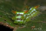 Stinging slug caterpillar (Limacodidae)