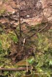 CTENIDAE - Wandering Spiders