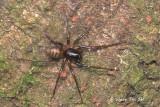 ZODARIIDAE - Ant-hunting Ground Spiders
