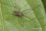 CHEIRACANTHIIDAE - Long-legged Sac Spiders