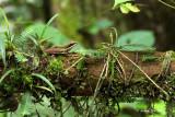 Amphibian of Sabah, Borneo, Malaysia.