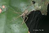 PISAURIDAE - Nursery Web Spiders
