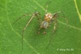 MIMETIDAE - Pirate Spiders
