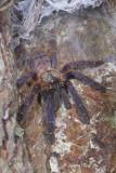 THERAPHOSIDAE - Tarantulas