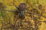 ARANEIDAE -  Orb Web Spiders