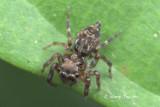 SALTICIDAE - Jumping Spiders