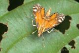 (Crambidae, Eoophyla sp.)