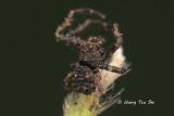 THOMISIDAE - Crab Spiders