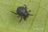 THERIDIIDAE - Comb-footed Spiders