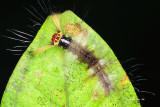 cf Arctiinae caterpillar