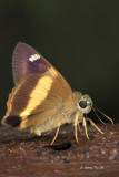 Butterfly, moth and caterpillar of Sabah, Borneo, Malaysia.