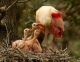 Spoonbills, Storks, and Ibises