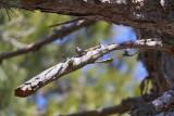 Korsikans nötväckaCorsican NuthatchSitta whiteheadi