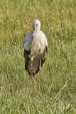 Vit storkEuropean White StorkCiconia ciconia