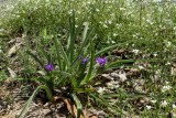 Hairystem Spiderwort 1