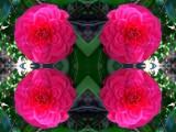 Camellia Posse