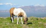 Mustang Pinto grazing