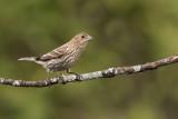 Roselin familier, femelle -- House Finch, female