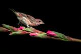 Roselin familier, mâle -- House Finch, male