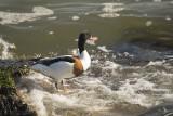 eenden, zwanen en ganzen , ducks, swans  and gooses