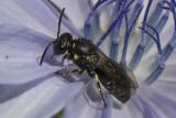 Maskenbiene (Hylaeus sp.)