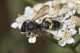 Knotenwespe (Cerceris cf. rybyensis)