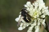 Wollbiene (Anthidium septemspinosum) male