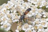 Cylindromyia auriceps