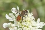 Andrena marginata