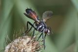 Cylindromyia pusilla (female)