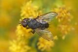 Siphona sp.