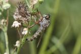 Asilidae - Robber flies - Raubfliegen