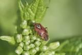 Weichwanze (Deraeocoris olivaceus)