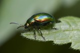 Chrysolina cerealis