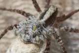 Pardosa lugubris