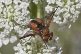 Ectophasia crassipennis (m)